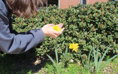 Courtyard daffodils