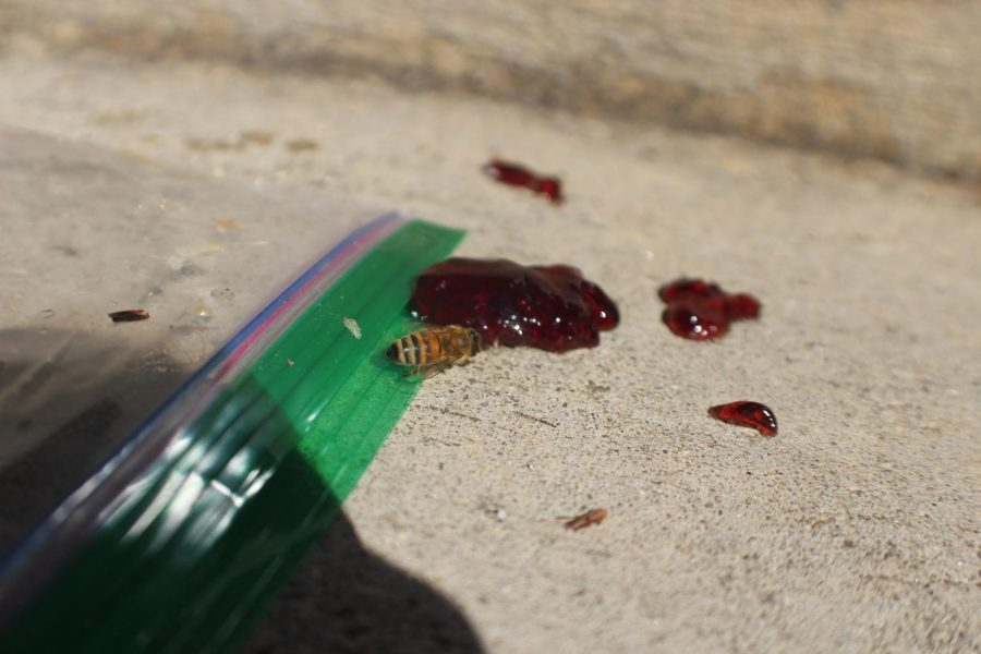 A little bee devours the remnants of a student's fallen jelly outside the NC lunch room. For bees, winter marks the start of their hibernation. Female bees kick the males out of the hive because the males eat all of the provisions meant to last until springtime.