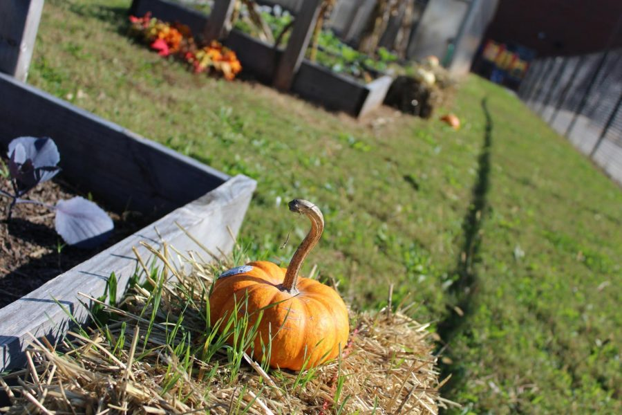 The Greenhouse Gang, a gardening and harvesting club sponsored by Susan Aughey, is growing cilantro, carrots, cherry belle radish, and lettuce amongst an array for fall decorations behind the greenhouse.  These crops, along with broccoli, brussel sprouts, and turnips, are  essential to a fall garden.