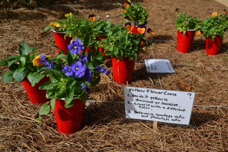 Biology teacher Sue Aughey started a genetics project that allows students to see the passing down of traits close up. While students study Mendelian genetics, they plant flowers in red solo cups and see how the traits affect the the color of the flower. This beautiful project blooms and gives the outside walkways of NC a pop of color.