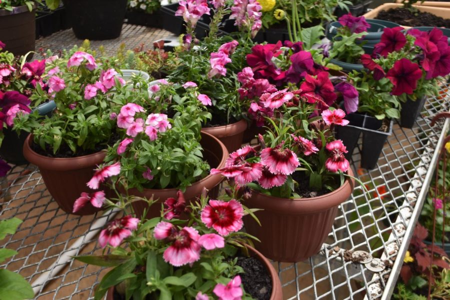 The plant sale offers a wide variety of garden plants, including these beautiful and vibrant potted flowers.