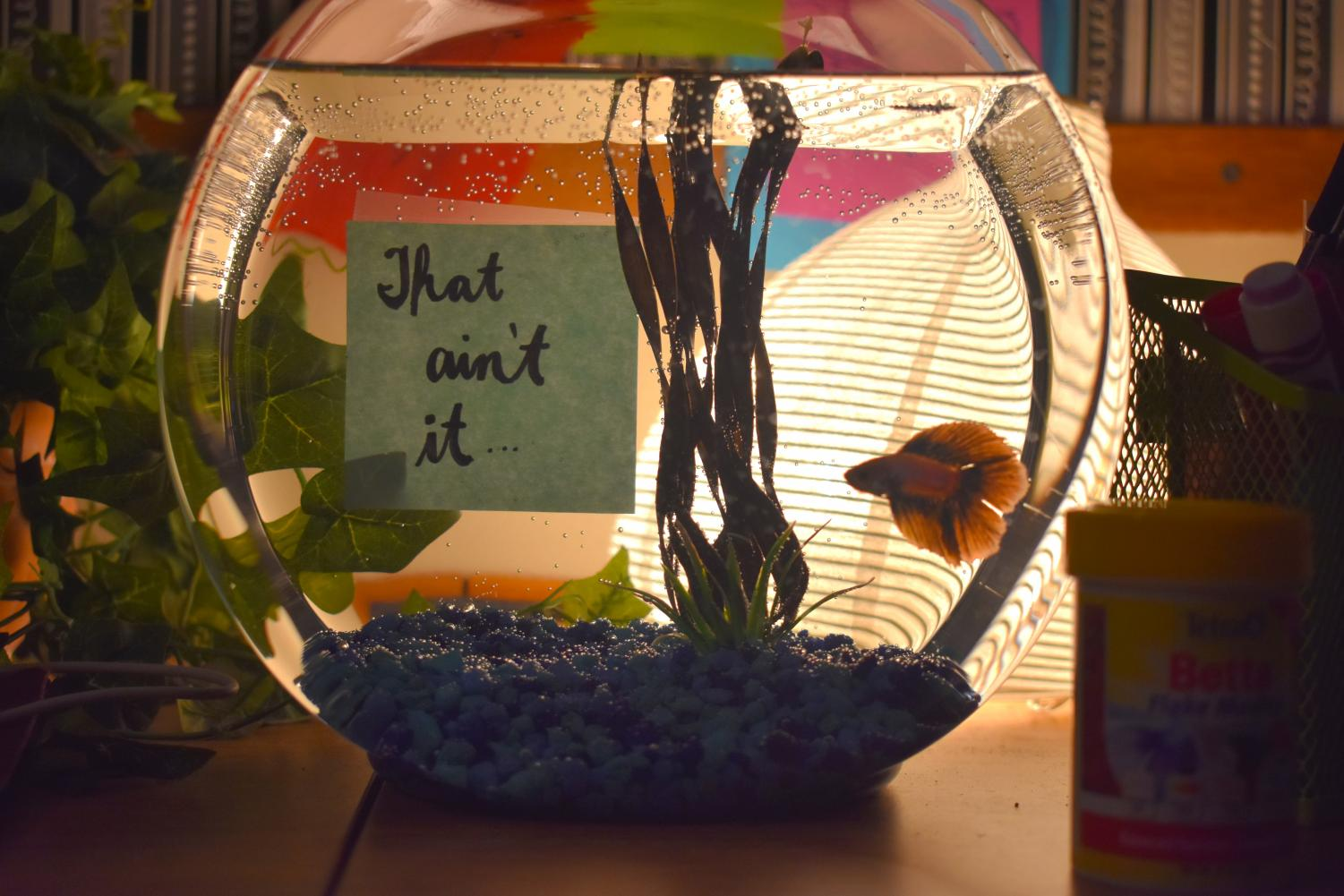 "Say hello to the new addition to The Chant's staff, Chief, the male betta fish. After debates of what type of fish The Chant should purchase, seniors Isabella Keaton and Tara Anastasoff made the ultimate decision to purchase the purple and pink betta. The staff together decided to name him Chief as Anastasoff wrote on a sticky note, ""that ain't it…"" to match the popular new catchphrase ""that ain't it chief."""