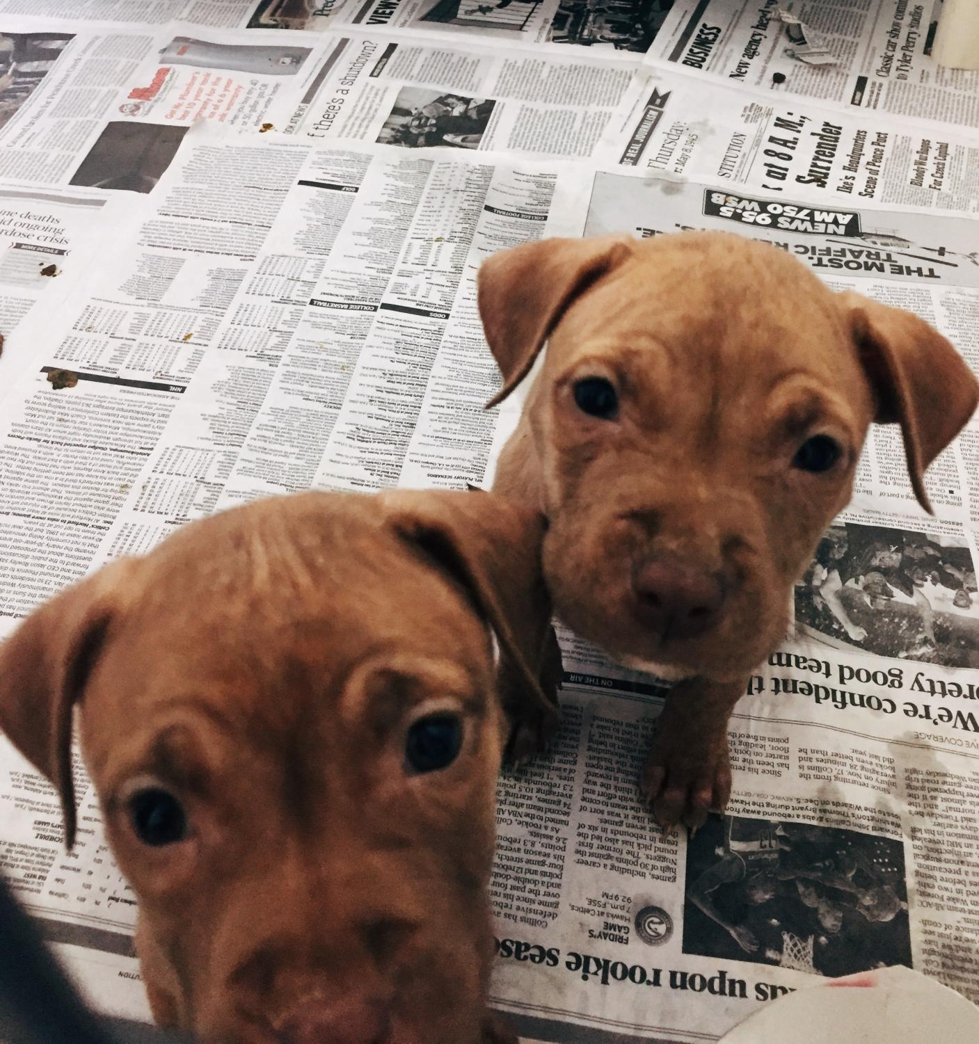 Petland, one of the pet stores in the Kennesaw/Acworth area, faced yet another scandal for poor treatment of the puppies and animals in their care.