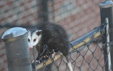 Opossum Party: an unexpected guest visits NC