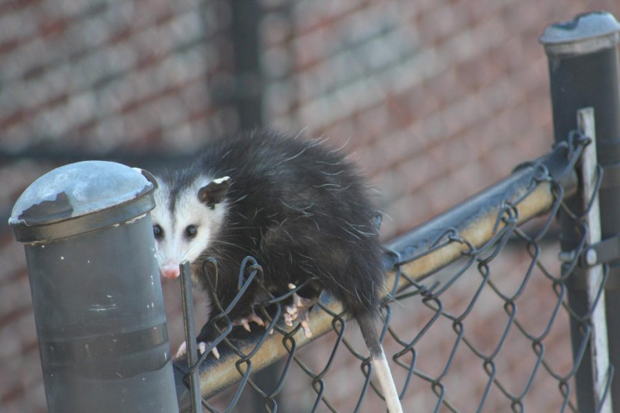 """After a successful Homecoming weekend, an unusually furry guest visited NC. Garnering attention from students and head football Coach Shane Queen, an opossum scurried up the fences located near the football field. On a beautiful Tuesday afternoon, this hairy little creature chose the shadiest spot on campus, to watch the personal fitness classes take place. """"This is nature at it's finest. It was a little scary but super cool,"""" said junior Brendan Koch."""