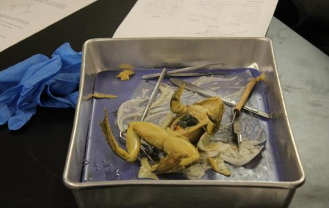 A pungent smell saturates the 700 hallway as Zoology students dive into dissecting a frog. Students receive hands on learning experience as they watch their textbooks come to life before their eyes. This dissection enabled students to enrich their understanding of an organism's internal organs.