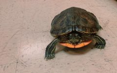 """Human Anatomy's beloved class pet, Chicken Wing the turtle embraced a rare day of freedom outside of her tank. She spent the entirety of third period prowling Mrs. Adams' classroom while befriending her students. The class enjoyed spending the duration of class studying the anatomy and physiology of a turtle and comparing it to that of a human. """"Having a class turtle is such a cool learning experience. I love getting to learn about my four legged friend and watching her explore the classroom,"""" NC sophomore Harmony Harvey-Morris said."""
